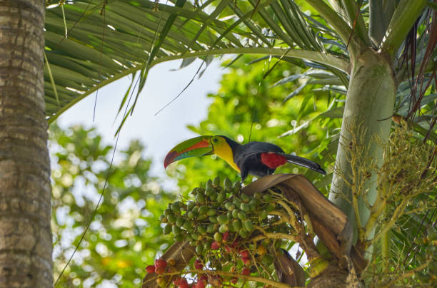 Brilliantly Colored Wild Keel-Billed Toucan in Soberania National Park of Gamboa, Panama in Central America stock photo