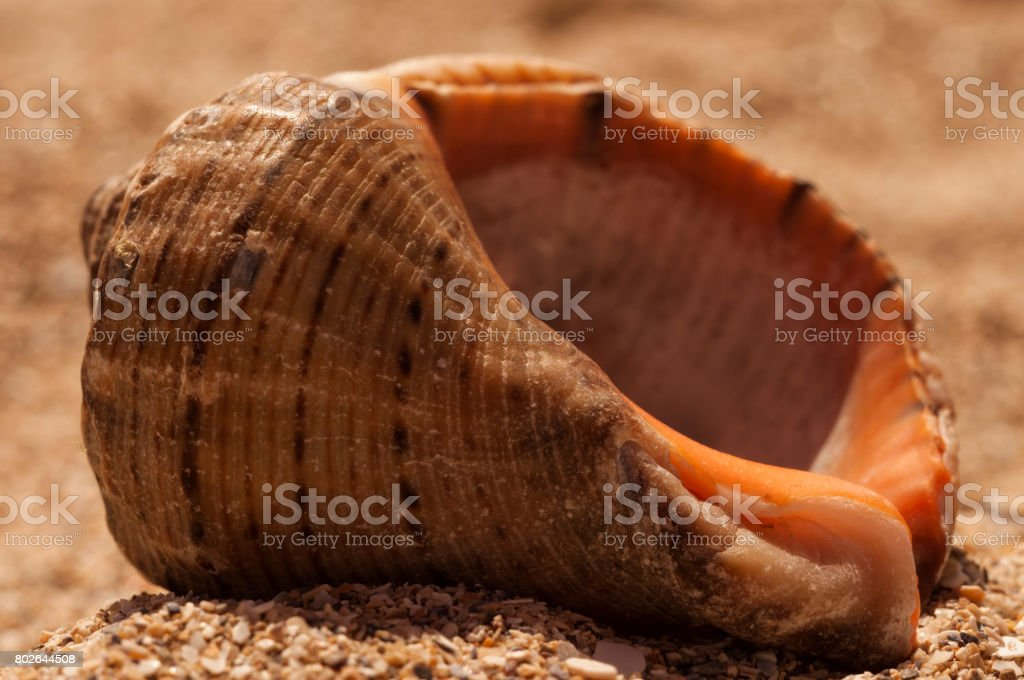 Brime shell macro photo stock photo