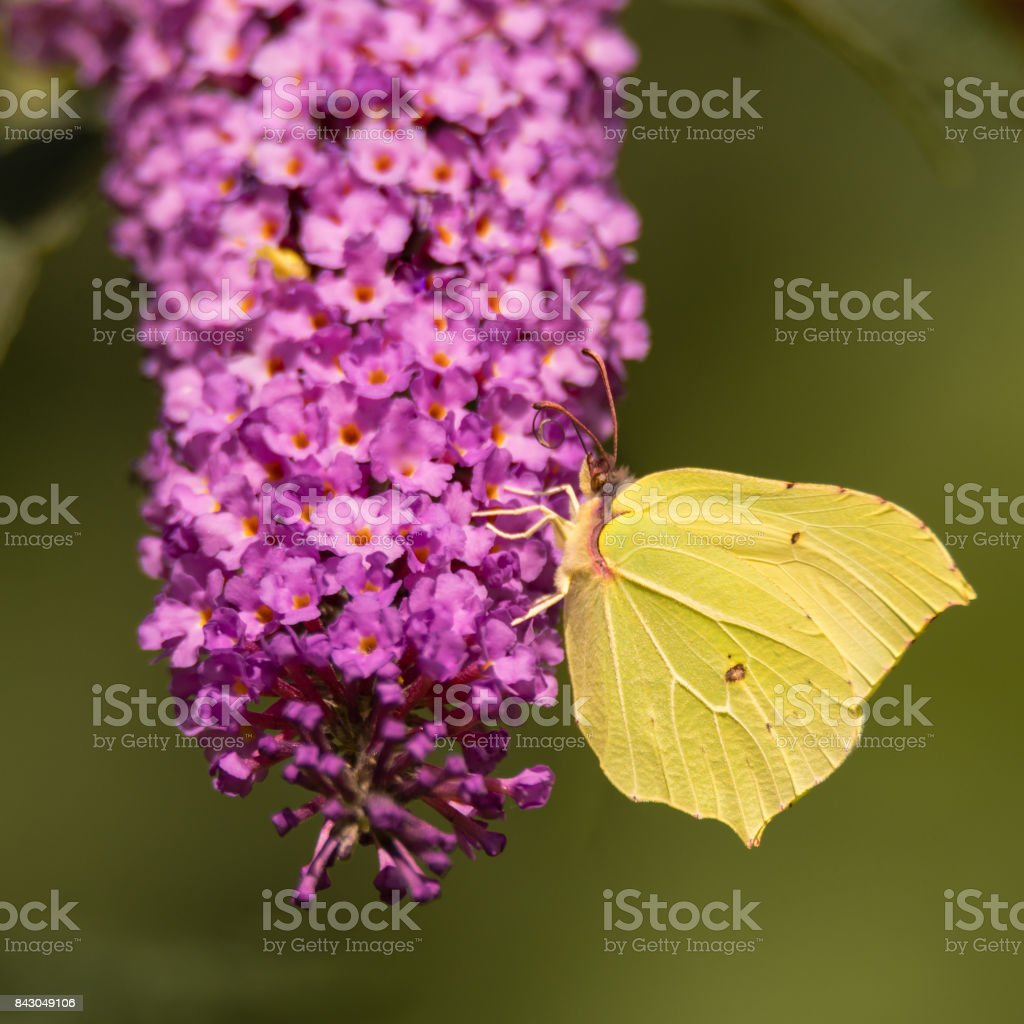 Brimstone (Gonepteryx rhamni) butterfly feeding on Buddleia stock photo