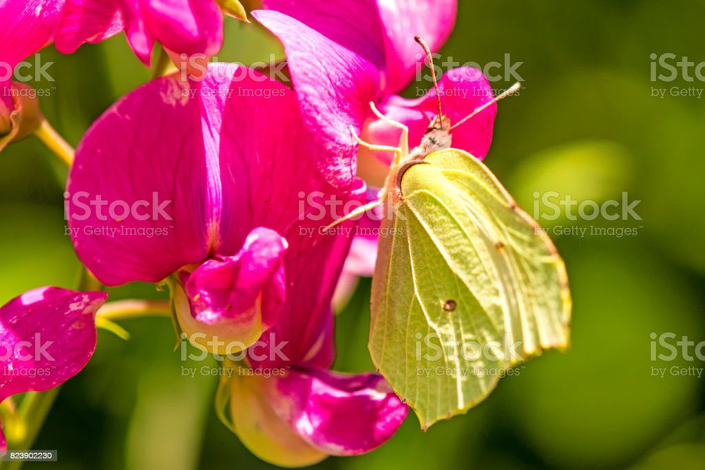 brimstone butterfly, Gonepteryx rhamni, on a vetch flower stock photo