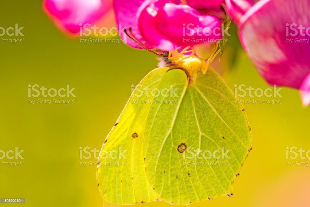 brimstone butterfly, Gonepteryx rhamni on vetch flower stock photo