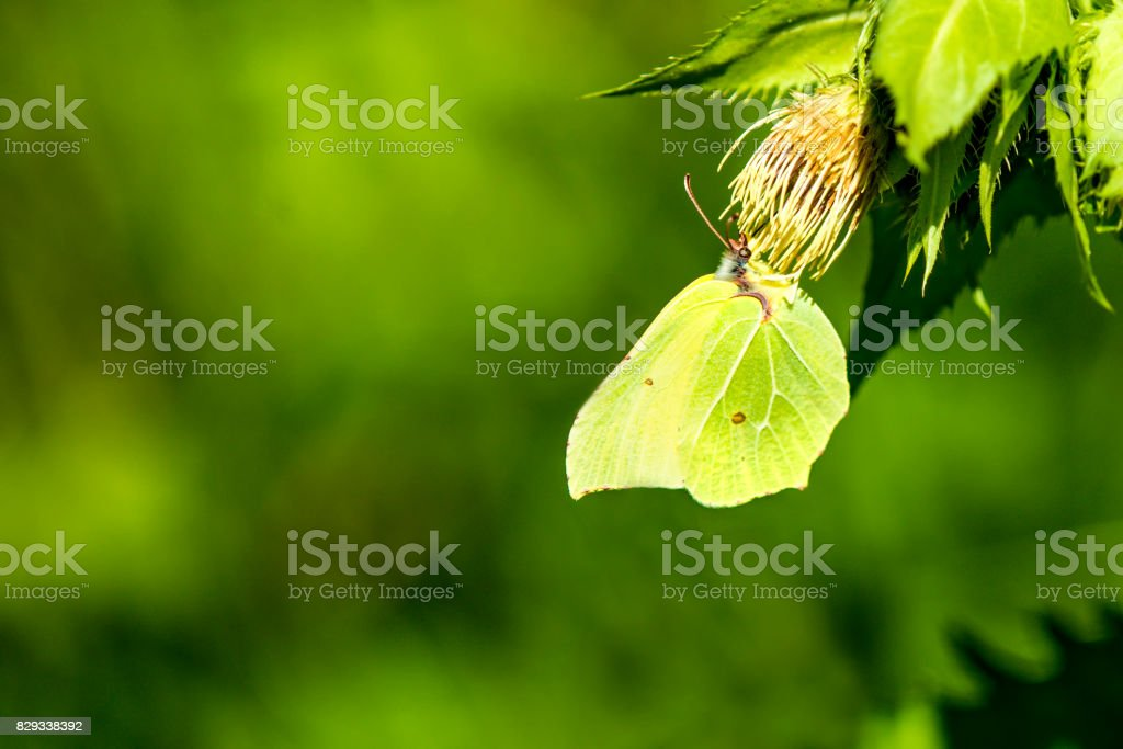 brimstone butterfly on a flower of a cabbage thistle stock photo