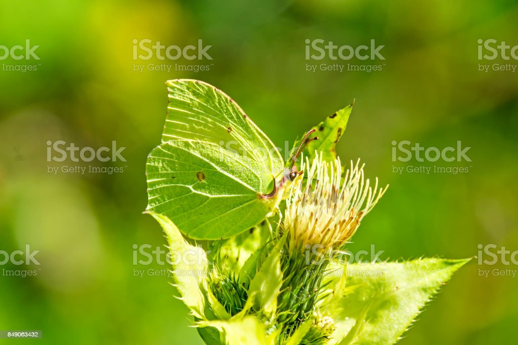 brimstone butterfly on a flower of stock photo
