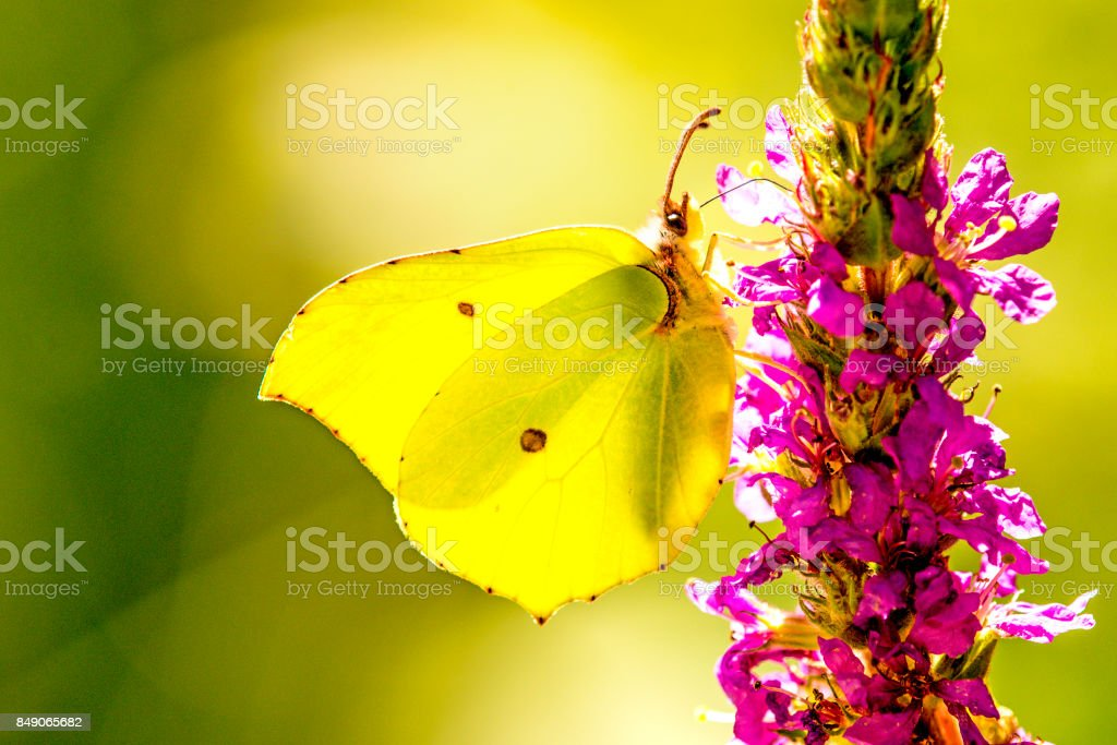 brimstone butterfly on a flower of purple loosestrife stock photo