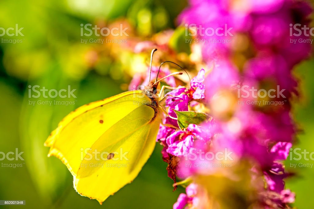 brimstone butterfly on a flower stock photo