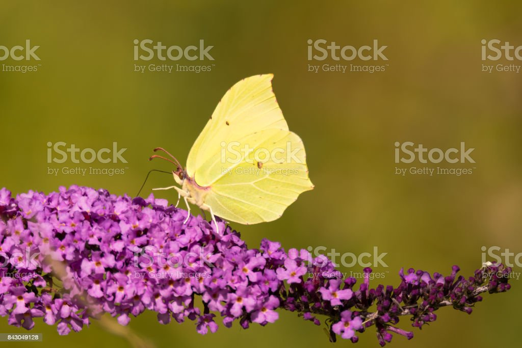 Brimstone (Gonepteryx rhamni) butterfly on Buddleia stock photo