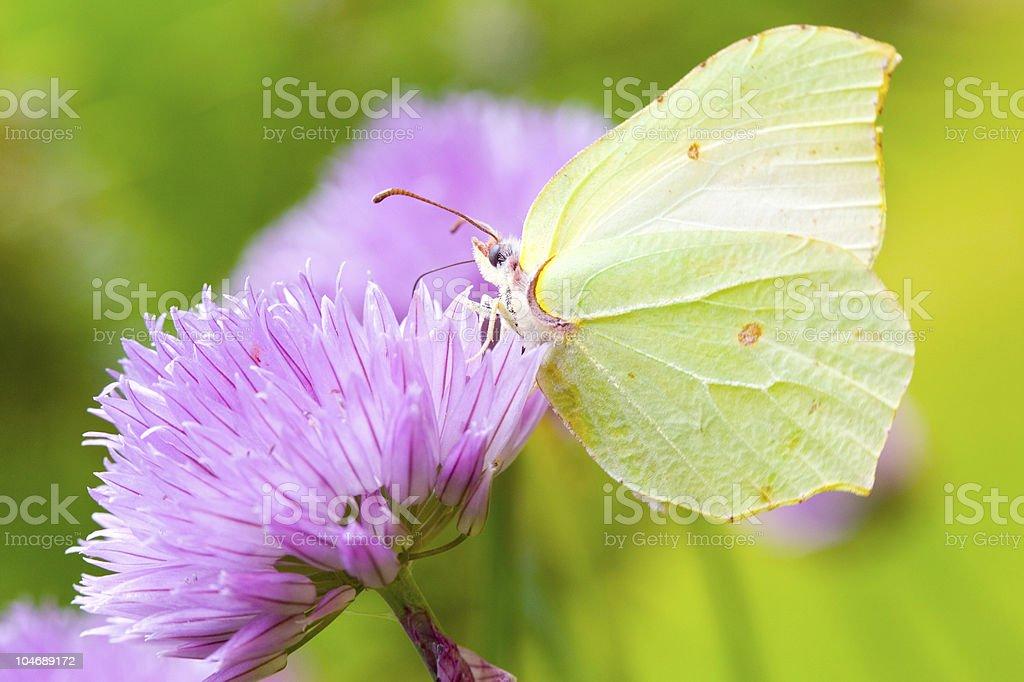 Brimstone butterfly stock photo