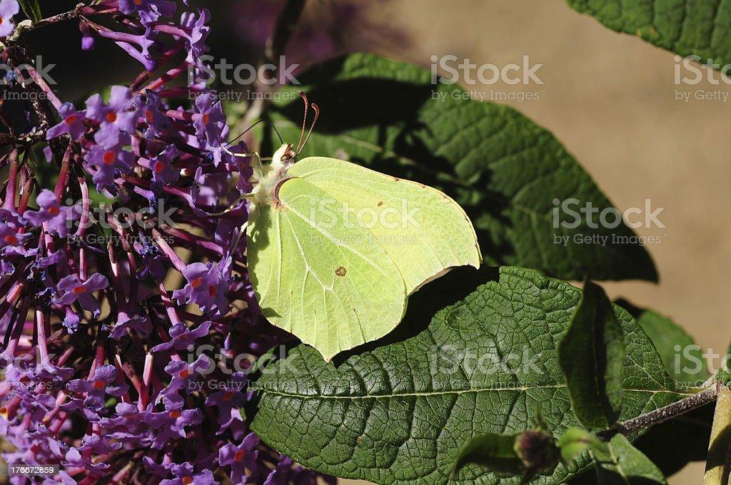Brimstone Butterfly, U.K. royalty-free stock photo