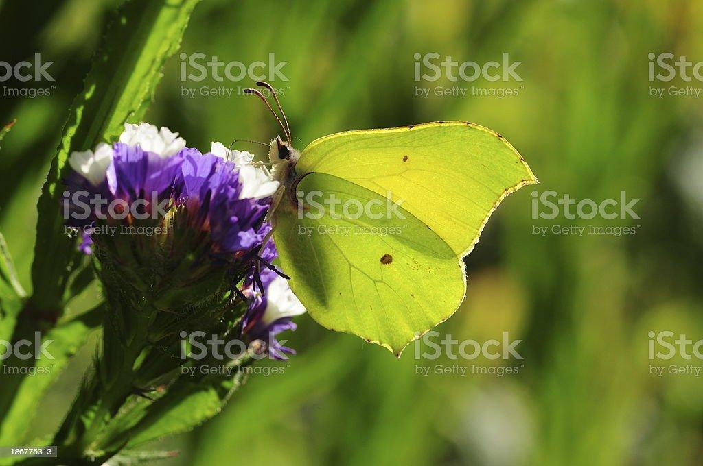 Brimstone butterfly, U.K. stock photo