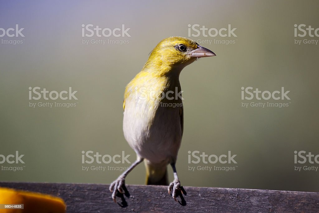 Brimstone Canary in Kruger Park, South Africa royalty-free stock photo