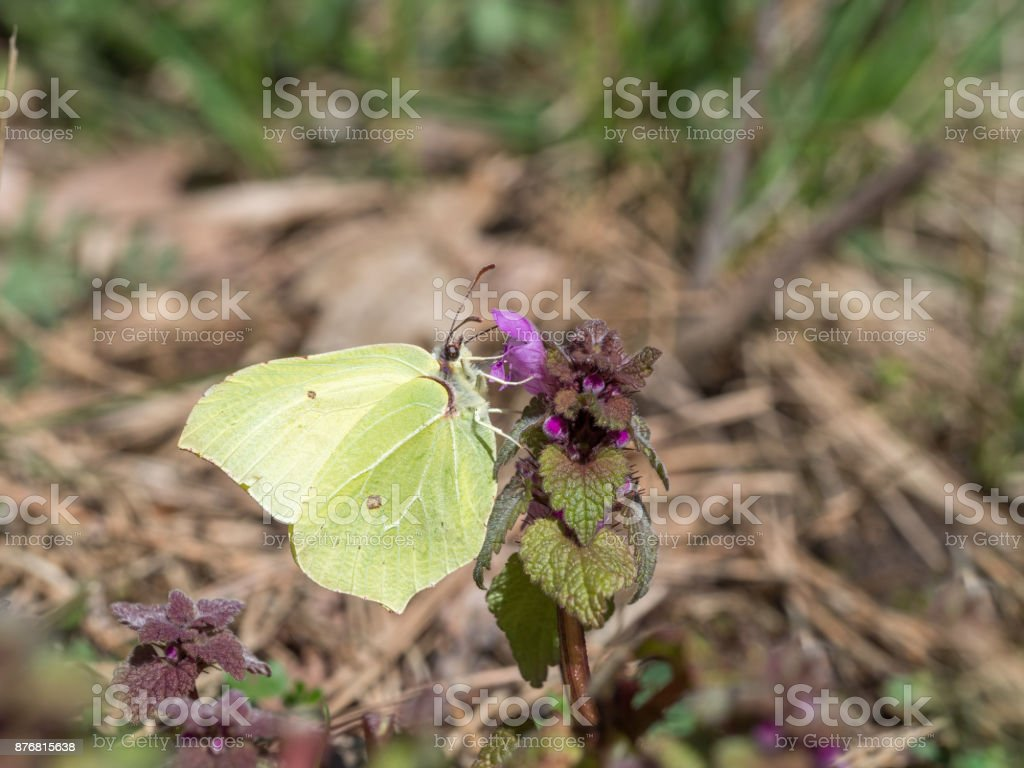 Brimstone, Gonepteryx rhamni stock photo