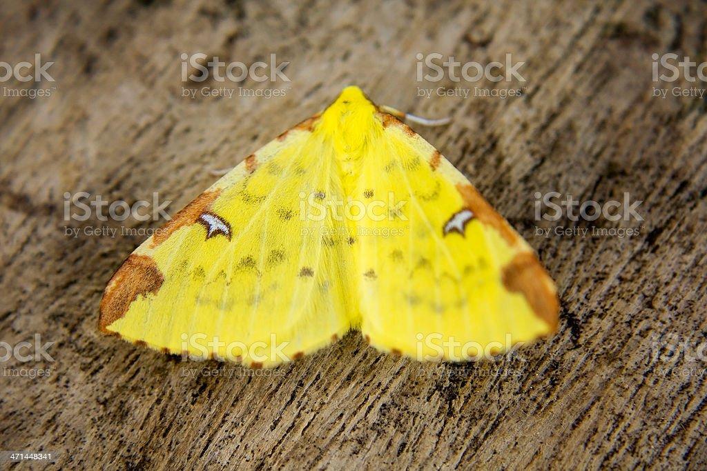Brimstone Moth stock photo