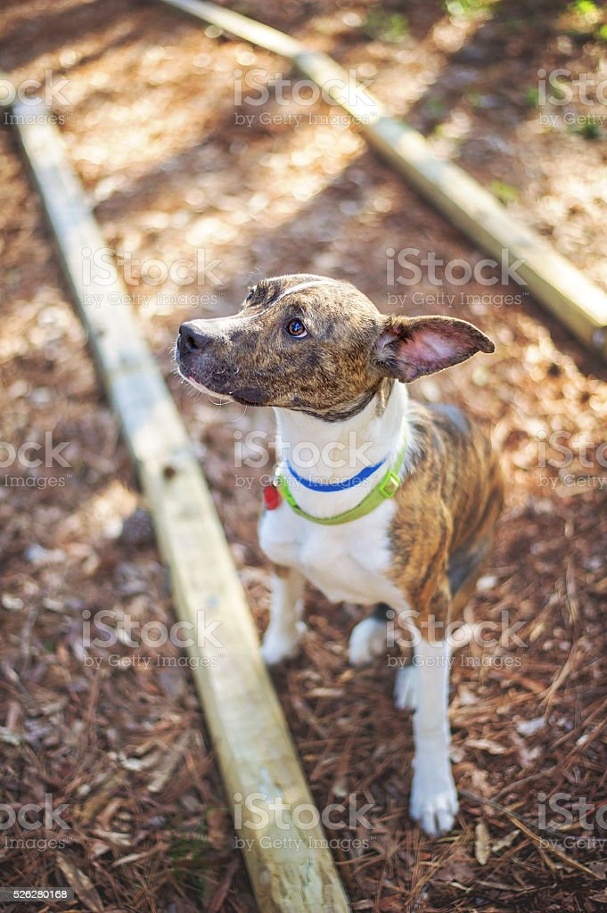 Brindle and White Greyhound Mix stock photo