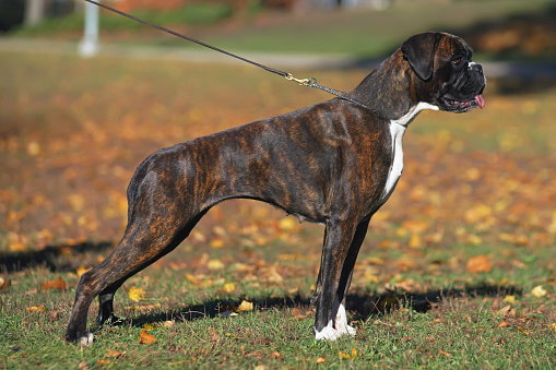 Brindle Boxer dog with natural ears and undocked tail standing outdoors on a leash in autumn