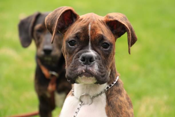 gestromte boxer welpen suchen seitwärts - hunde aus dem tierheim stock-fotos und bilder