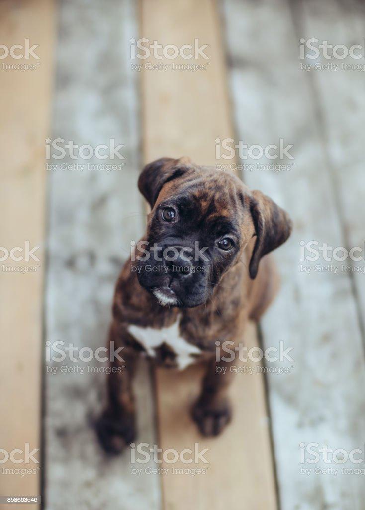 Brindle Boxer Puppy stock photo