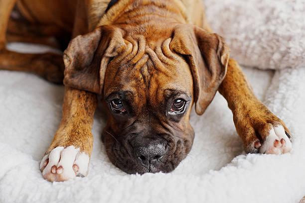 """puppy """"twarz - bokser pies zdjęcia i obrazy z banku zdjęć"""