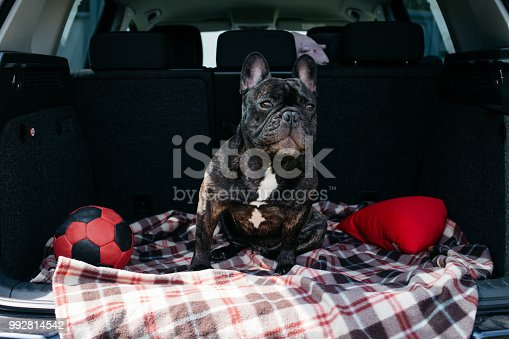 istock Brindle French bulldog sitting in the trunk of a car 992814542