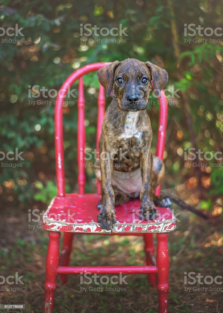Brindle Hound Mix Puppy on Red Chair stock photo