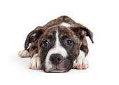 Cute young brindle puppy dog lying down on white looking at camera with sad expression