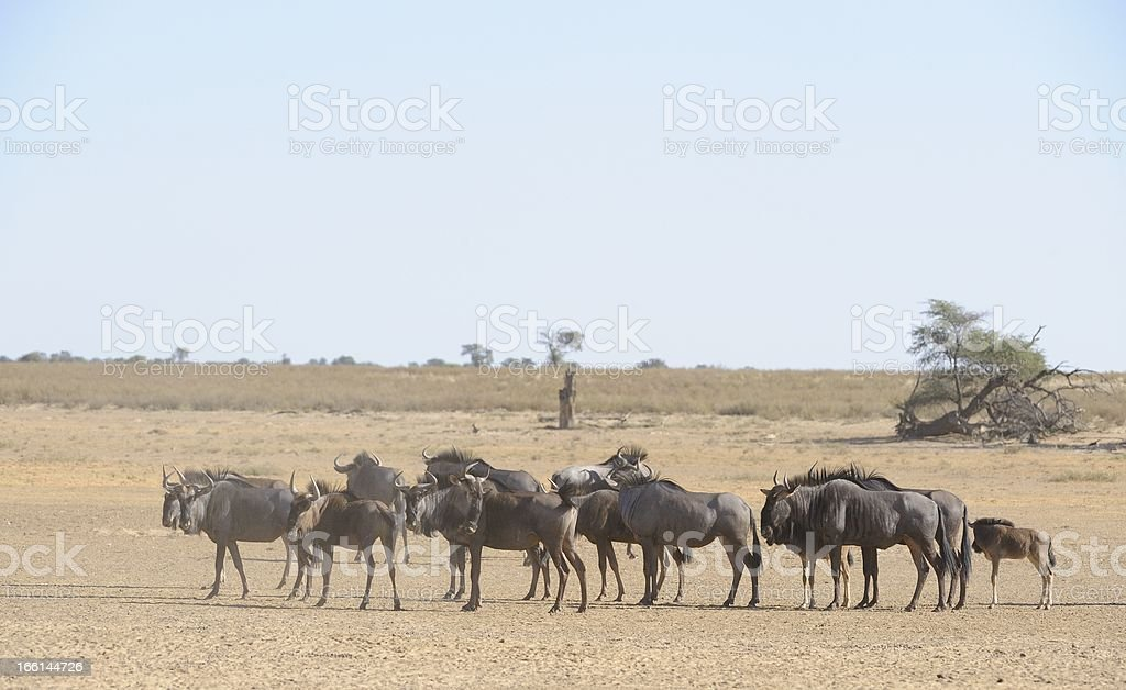 Brindled Gnu Herd stock photo