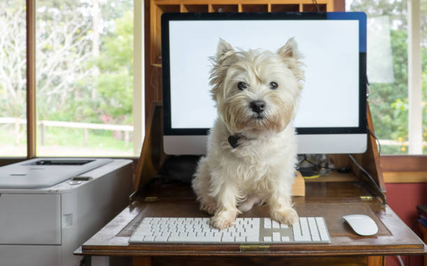 Bring dog to work day - west highland white terrier on desk with computer stock photo