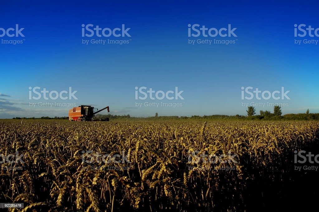 Bringing In The Harvest royalty-free stock photo