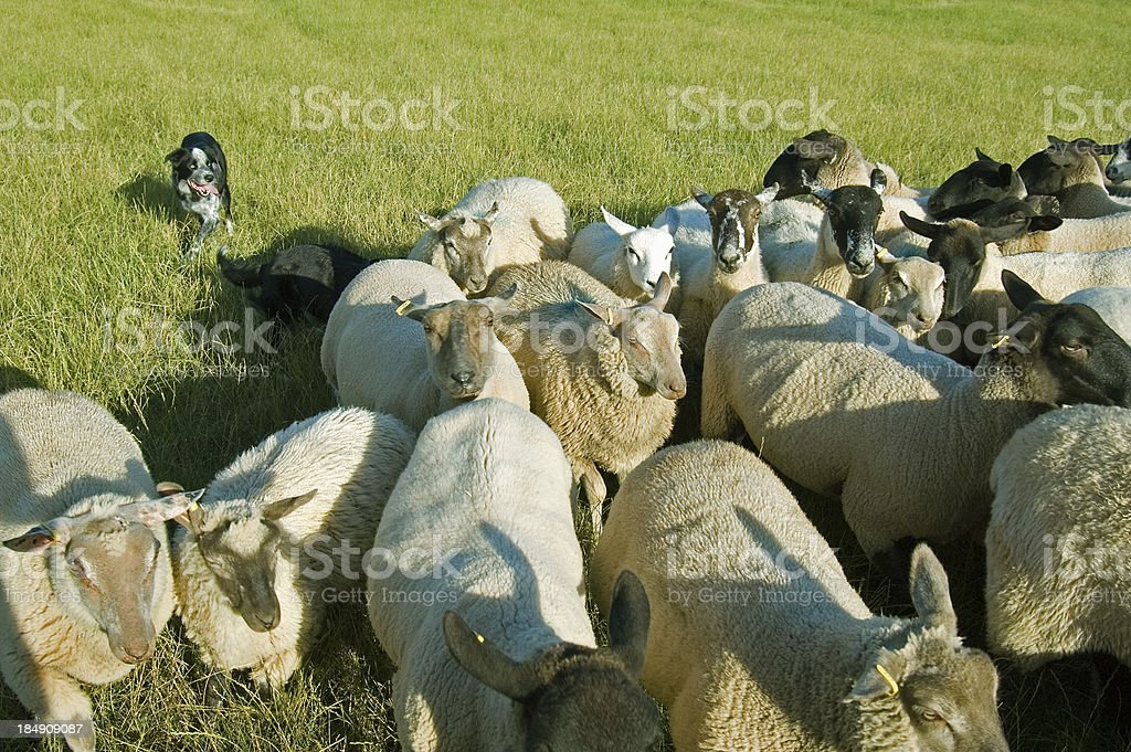 Bringing the sheep in royalty-free stock photo