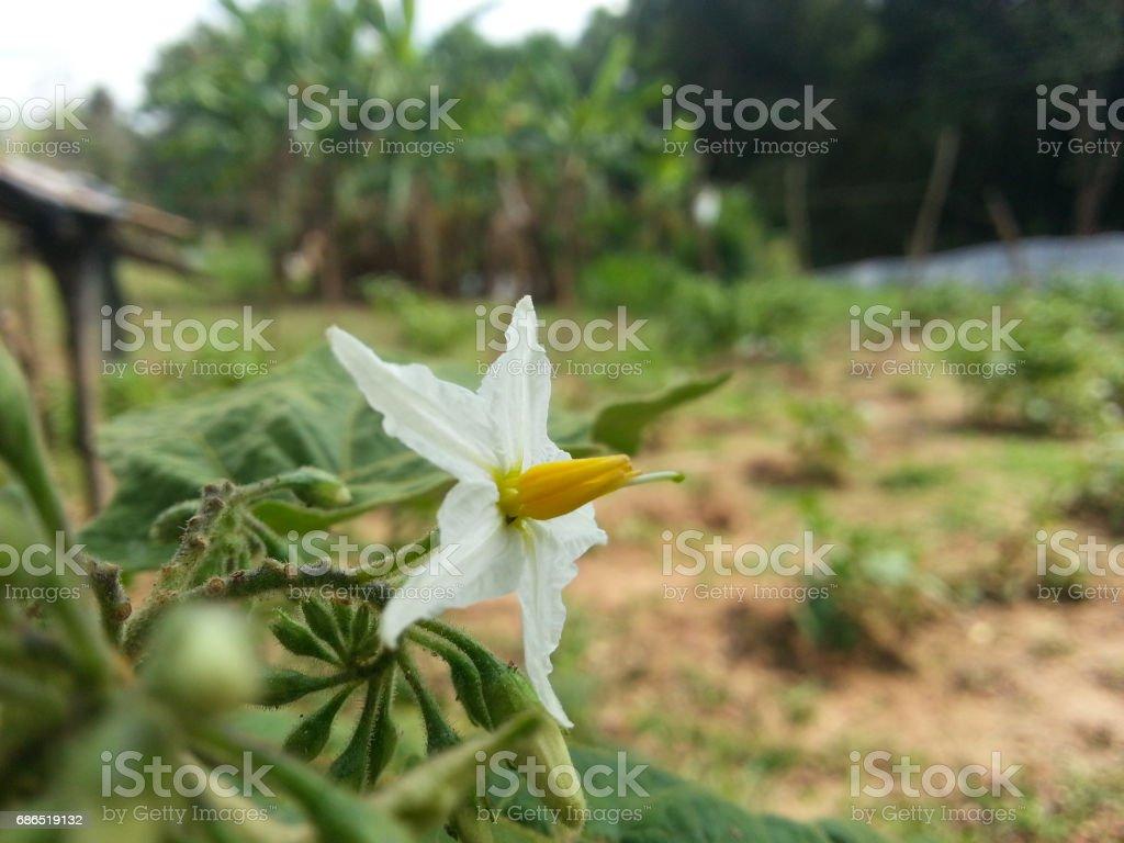 Brinjal Flower (White) zbiór zdjęć royalty-free