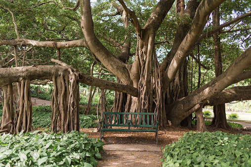 Brisbane City Botanic Gardens large fig tree with sprawling branches and tranquil bench chair