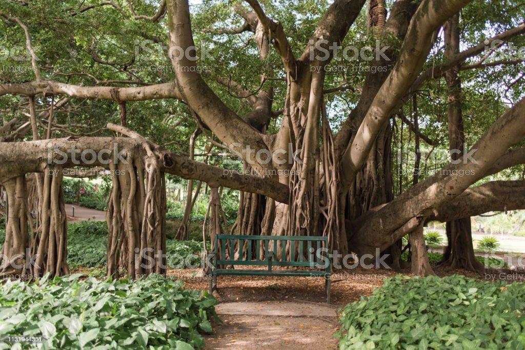 Brisbane City Botanic Gardens grote vijgenboom met uitgestrekte takken en rustige bankstoel foto