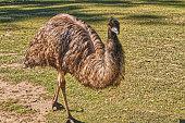 istock Brisbane City zoo Emu 1257188727