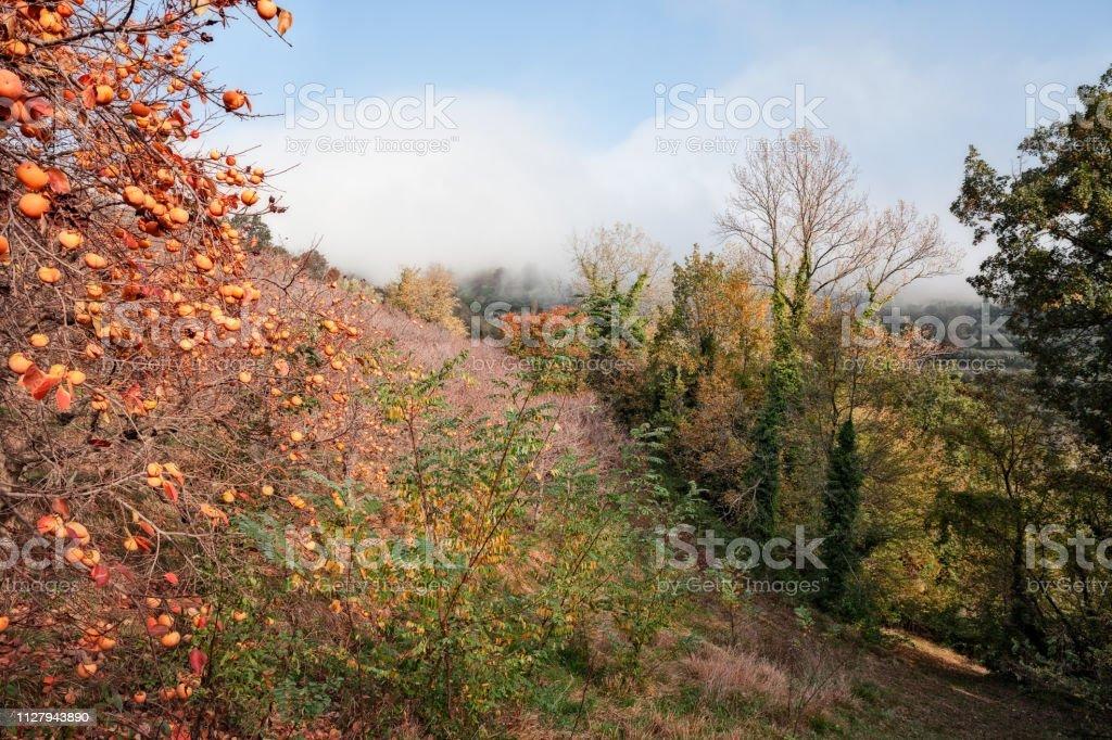 Brisighella, Ravenna, Emilia-Romagna, Italy: landscape of the hill with persimmon trees - foto stock