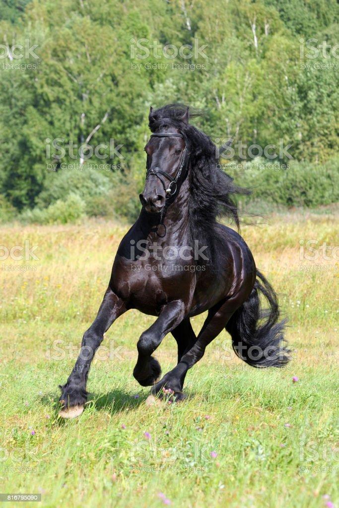 Briskly galloping black friesian stallion stock photo