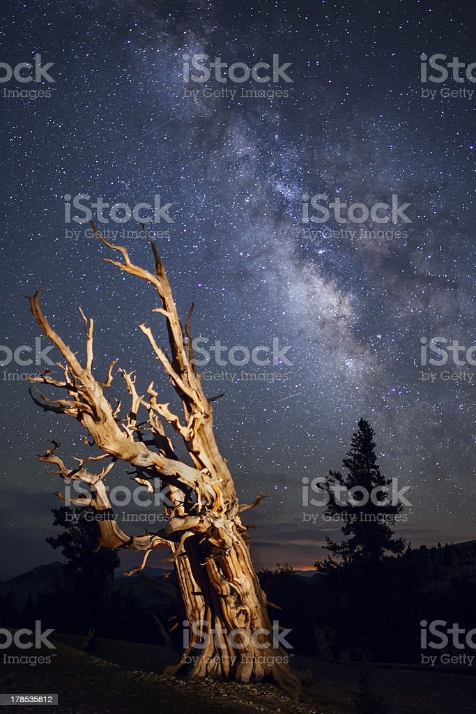 Bristle Cone Pine and Milky Way royalty-free stock photo