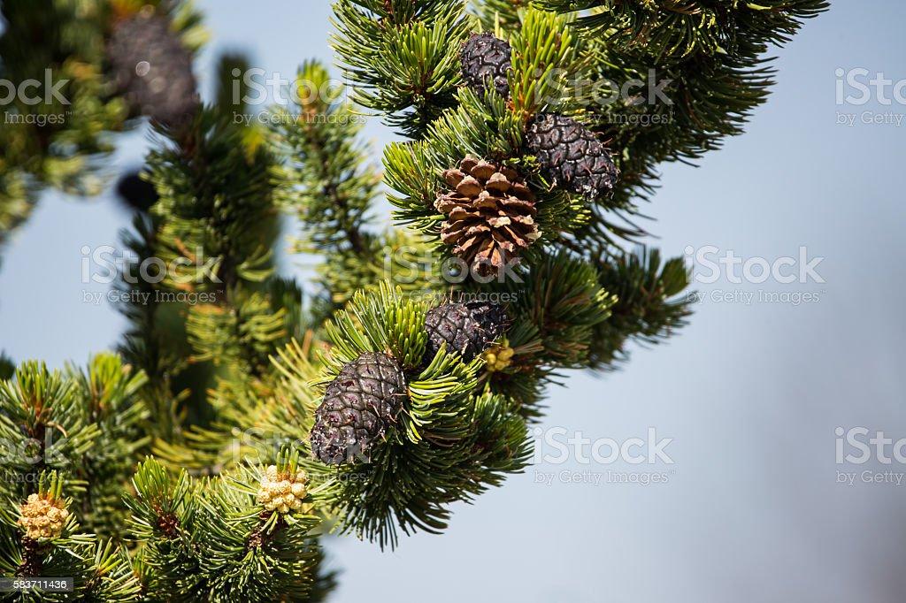 bristlecone pine and cones stock photo