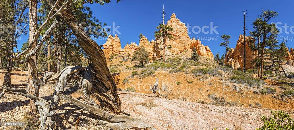 Bristlecone pine and desert pinnacles panorama Bryce Canyon National Park royalty-free stock photo