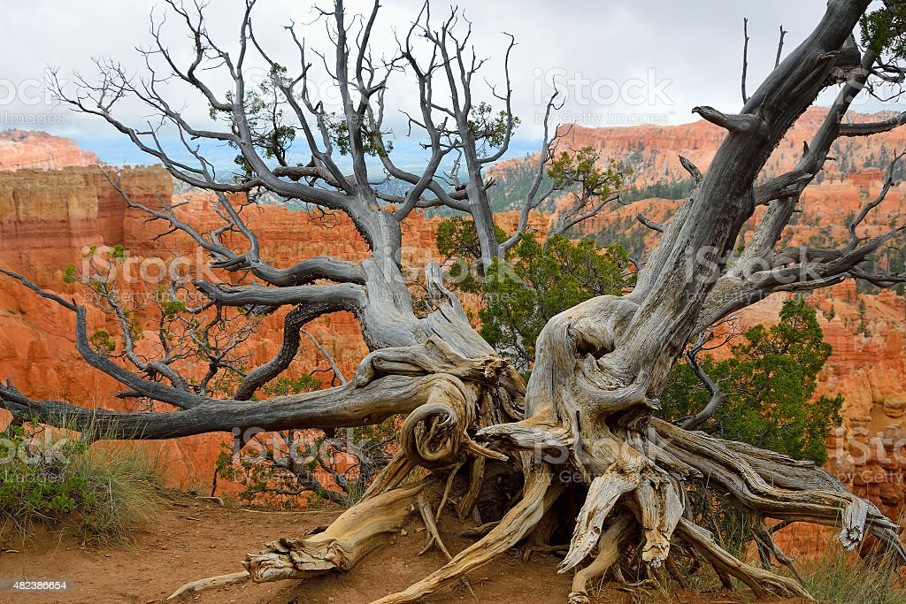 Bristlecone pine at Bryce Canyon rim stock photo