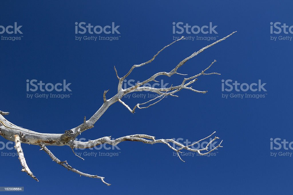 Bristlecone Pine Branch royalty-free stock photo