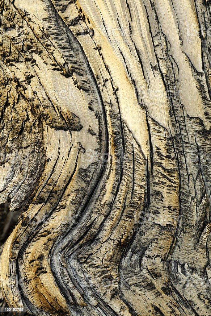 Bristlecone Pine Detail royalty-free stock photo