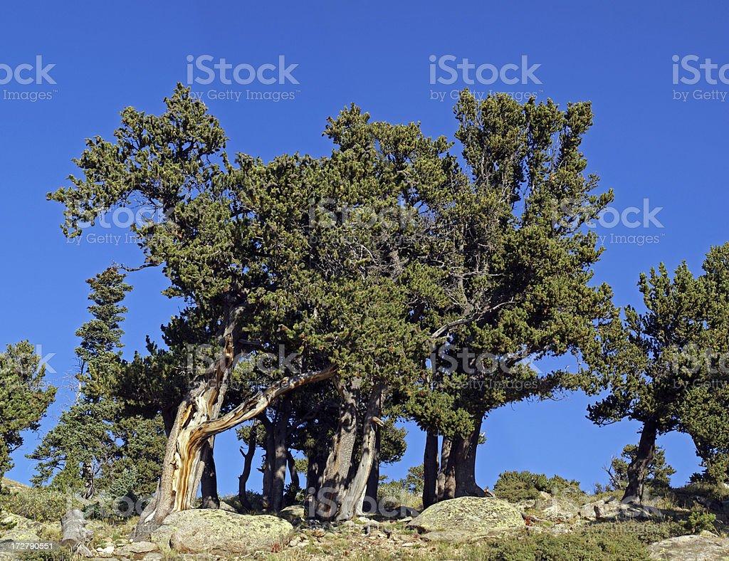 Bristlecone Pine Grove royalty-free stock photo