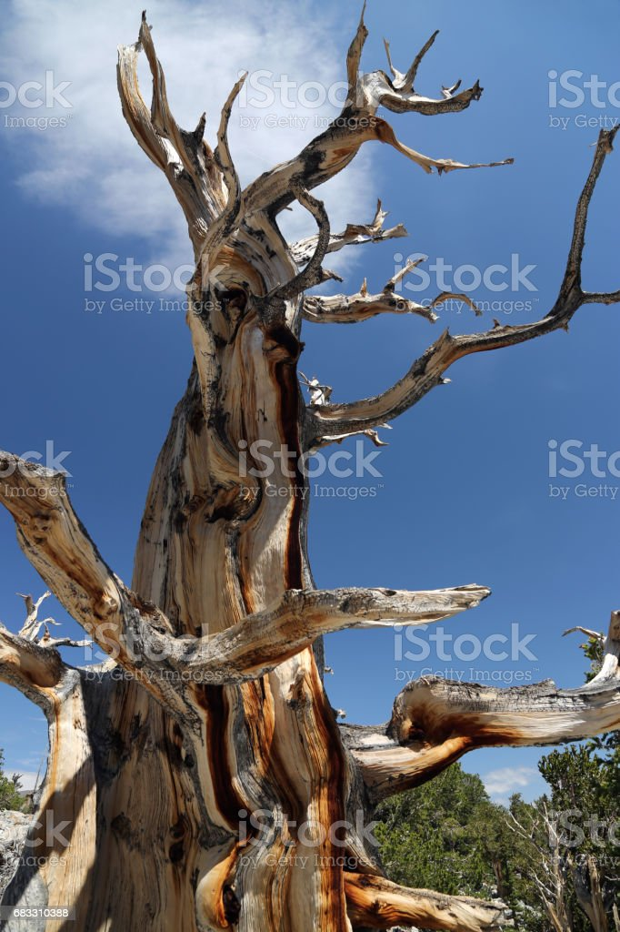 Bristlecone Pine in Great Basin foto stock royalty-free