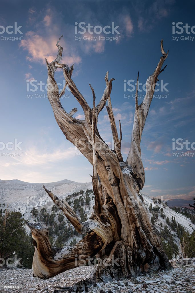Bristlecone pine in the White Mountains royalty-free stock photo
