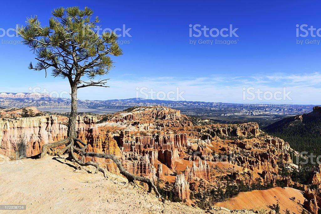 Bristlecone Pine on thr Rim, Bryce Canyon, Utah royalty-free stock photo