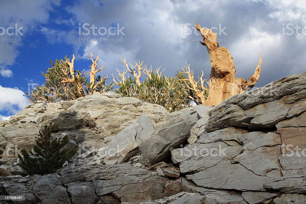 Bristlecone Pine royalty-free stock photo