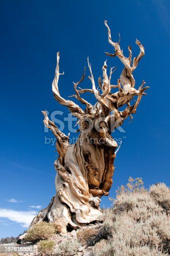 Bristlecone Pine in the Ancient Bristlecone Pine Forest in the White Mountains of eastern California