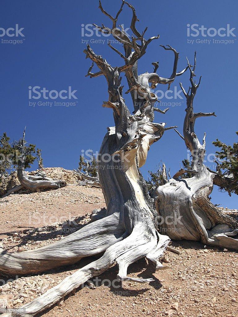 Bristlecone Pine royalty-free stock photo