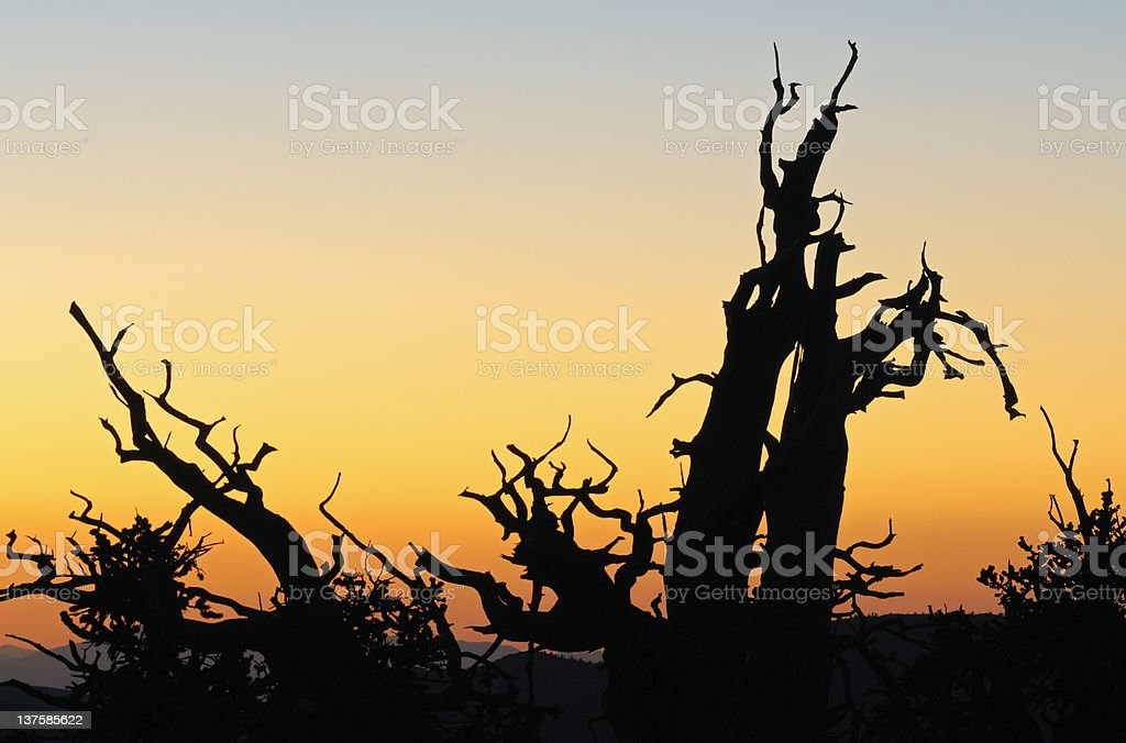 Bristlecone Pine Silhouettes stock photo