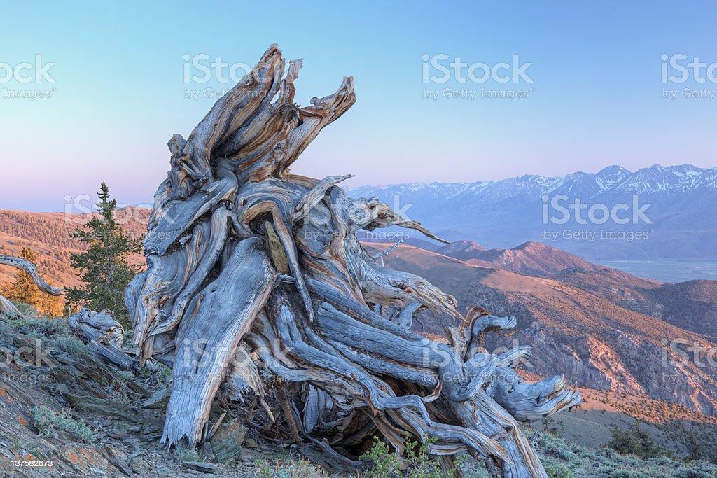 Bristlecone Pine Stump royalty-free stock photo