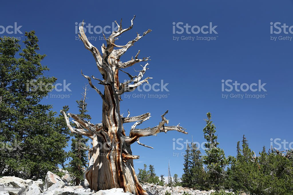 Bristlecone Pine Tree in Great Basin National Park stock photo